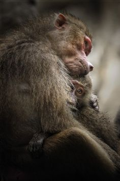 Hamadryas Baboon & Baby - so much love and tenderness...