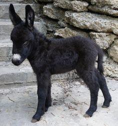 Miniature Donkeys for sale, Jennys for sale, baby miniature donkeys for sale, Miniature donkey breeder Chapel Hill Farm Mini Donkeys, Miniature Donkeys Texas Cute Baby Animals, Farm Animals, Animals And Pets, Funny Animals, Wild Animals, Pet Donkey, Mini Donkey, Baby Cows, Baby Elephants