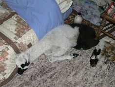 Baby llama 'Ping' snuggles up to the bed. A survivor against all the odds....