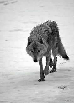 Denisia Wolf