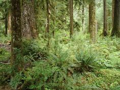 Hall of Mosses Trail in Hoh Rainforest - Check out the free plant identification mobile app at GardenAnswers.com