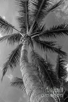 palm, tree, nature, sky, black, white, photography, michiale, schneider