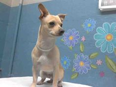 This DOG-ID#A4748508  I am described as a neutered male, tan Chihuahua - Smooth Coated mix  The shelter thinks I am about 10 months old.  I have been at the shelter since Aug 22, 2014. Back For more information about this animal, call: Los Angeles County Animal Control - Lancasterat(661) 940-4191 Ask for information about animal ID number A4748508
