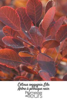 Ce cotinus est un modèle réduit du célèbre 'Royal Purple'. Petit arbuste caduc et buissonnant, il est doté du même feuillage pourpre-violacé liseré de rose, prenant en automne de somptueuses teintes écarlates.