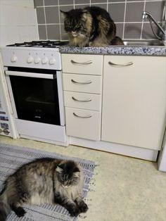 Maine Coon Kater Spirit und Katze Mystery als Küchenchef´s Mystery, Washing Machine, Kitchen Appliances, Cats, Diy Kitchen Appliances, Home Appliances, House Appliances, Washers, Kitchen Gadgets