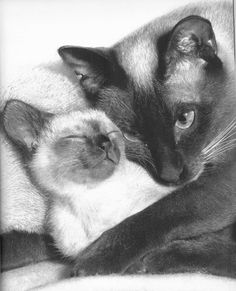 Mom and babe the look of love ❤️ - this photo is on the cover of my favorite cat book, from the 1960s. Every time I come across it, I just revel in its beauty. - Pinned 2-29-2016.