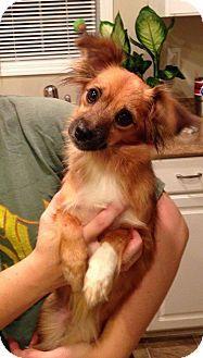 Laingsburg, MI - Australian Shepherd/Yorkie, Yorkshire Terrier Mix. Meet Bella - 201, a dog for adoption. http://www.adoptapet.com/pet/16439897-laingsburg-michigan-australian-shepherd-mix