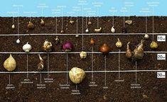 Jetzt Blumenzwiebeln Setzen Schaniel Gartenbau Zwiebeln Anbauen Pflanzen Narzissen Stauden