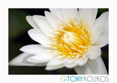 flower, vibrant, colour, colourful, petals, texture, nature, bud, Thailand, islands, white, yellow, travel, art, photography, Tony Koukos, Koukos, EXO012C-A