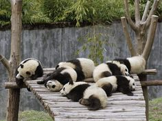 Top 30 Panda Pictures