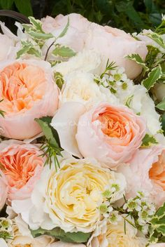 english roses in peaches and cream