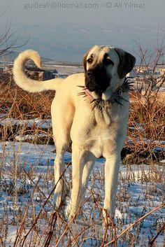 Anatolian Shepherd Dog, Kangal Dogs from Central Turkey | by guideali