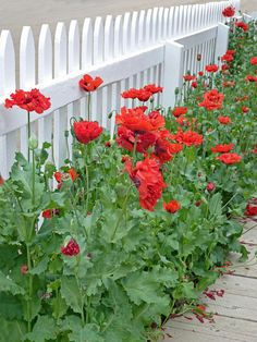 https://flic.kr/p/8EHLxa | White Picket Fence | Red poppies are still in bloom----Heritage Park