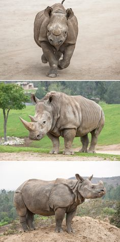 The rhinoceros is the second-largest land mammal, behind the elephant. These stocky, Land Rover-sized vegetarians once numbered over 500,000, but they have been reduced to about 29,000 in recent years, largely due to humans' appetite for their signature appendage: the horn.