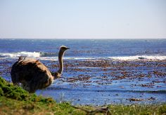 Ostrich in the Cape of Good Hope Nature Reserve, South Africa - photo taken by JL Morris (USA) Nature Reserve, South Africa, Camel, Safari, Photographs, Around The Worlds, Usa, Animals, Animales