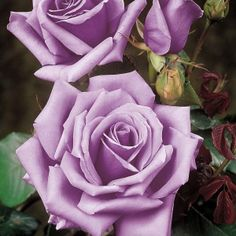 blue moon roses. . .I LOVE lavender roses!  My bridal boquet had sterling silver roses and pink tulips.
