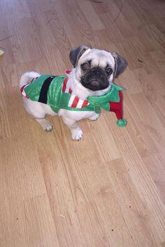 Bentley the elf Funny Pugs, Pug Love, The Elf, Portland, Cute, Animals, Parrot, Doggies, Animales