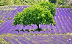 Les champs de lavande de la Drôme! Que serait la Provence sans ses célèbres champs de lavande! Symbole de toute la région grâce à ses dégradés de couleurs et ses senteurs, celle-ci est particulièrement présente dans la Drôme Provençale.  #tourisme #provence #lavande #paysages #drome #voyages