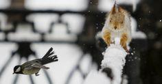 Pássaro tomtit voa com um esquilo correndo em uma cerca após queda de neve em em parque em Almaty, no Cazaquistão