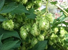 Found Wild Hops, Now What? [pics] - Home Brew Forums