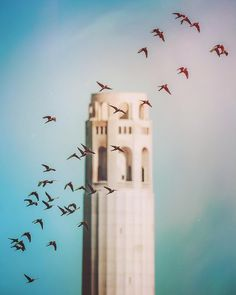 The wild parrots of telegraph hill, San Francisco flying in front of coit tower