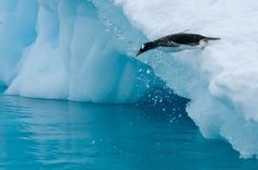 A Diving Gentoo Penguin in Paradise Bay, Antarctica
