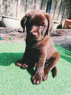 Cute Baby Puppies, Lab Puppies, Baby Dogs, Doggies, Super Cute Animals, Cute Little Animals, Cute Funny Animals, Cute Dogs Breeds, Dog Breeds