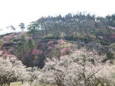 """""""Yoshino-Baigou""""(Prugna Giardino), Oume, Tokyo, Japan"""