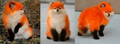 Fox pomeranian dog. Creative Grooming