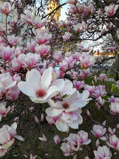 Magnolia, Places To Visit, Earth, Garden, Flowers, Plants, Budapest, Travel, Instagram