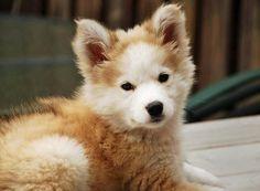 Irresistible... siberian husky and golden retriever mix (Goberian)