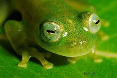 Like if you love frogs!  Repost @vitorsb01 ・・・ Vitreorana eurygnatha 2015 #savethefrogs #nikon #nikond200 #kf_macro #macro #top_macro #bahia #biology #natgeotravel #natgeo #herpeto #herpetology #60mmmacro #macroclique #macroworld_tr #macro_highlight #micro_life_shoot #beautiful #frog #crbio04