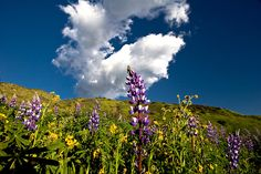 Lying in Lupens, by PhotosbyFlood. Lupens, fiddle-necks and other wildflowers, staring up at the clouds.
