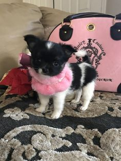 Effective Potty Training Chihuahua Consistency Is Key Ideas. Brilliant Potty Training Chihuahua Consistency Is Key Ideas. Cute Chihuahua, Cute Puppies, Dogs And Puppies, Cute Dogs, Long Haired Chihuahua Puppies, Pomeranian Dogs, Doggies, Animals And Pets, Baby Animals