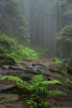 Misty forest. Carpathian Mountains.... (Reminds me of New Jersey....)