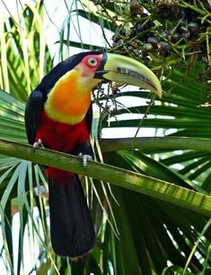 found at wiki aves Tropical Birds, Exotic Birds, Colorful Birds, Exotic Pets, Pretty Birds, Beautiful Birds, Animals Beautiful, Flightless Bird, Owl Bird