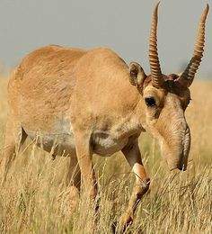 The awkward looking Saiga antelope with its fleshy humped nose:  In winter their coats are mostly white.  They are vulnerable to extinction because the horns are used in Chinese medicine, even though there have been laws against hunting them for a long time.  The population has declined almost 95% in just 15 years.