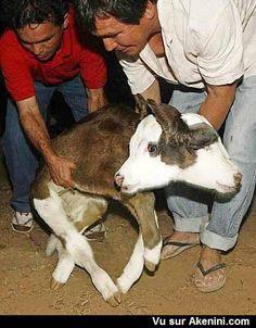 Un veau à deux têtes - A calf with two heads