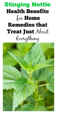 Stinging Nettle Health Benefits for Home Remedies that Treat Just About Everything