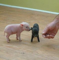 Mini Pigs @Casey L. Tell your mom you want these. They can stay in your room in a cage like a guinie pig