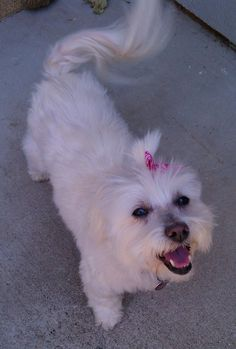 The only time you will see my girl Lucy with a bow in her hair :)