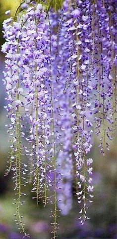 Wisteria Beautiful gorgeous pretty flowers
