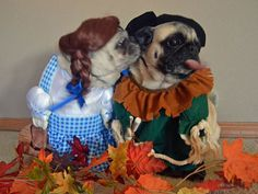 Dorothy and the Scarecrow pugs. Too cute!