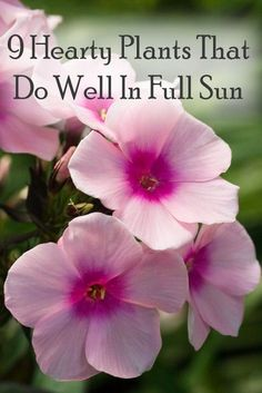 9 Beautiful Plants That Do Well With Full Sun (perennials) - front yard landscaping ideas for full sun Full Sun Flowers, Full Sun Plants, Sun Loving Plants, Full Sun Container Plants, Pink Flowers, Full Sun Hydrangea, Shrubs For Full Sun, Flowering Bushes Full Sun, Indoor Flowering Plants