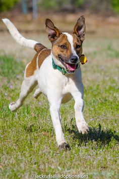 Georgia Jack Russell Rescue, Adoption and Sanctuary | Zeus #adoptable #dog #jackrussell #terrier #mix #running