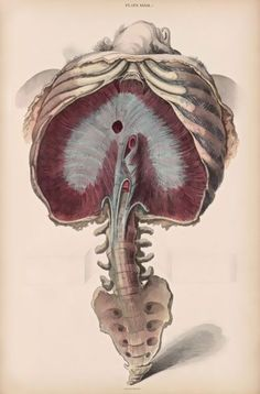 Diaphragm, rib cage, lumbar, coccyx {A system of anatomical plates of the human body, accompanied with descriptions and physiological, pathological, and surgical observations, John Lizars. Illustrations by: W.H. Lizars} Vintage anatomy !!