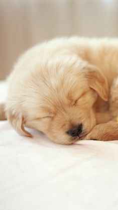 Little baby golden retriever