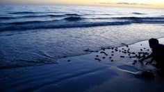 We recently had our first nest of sea turtle hatchlings safely make their way to the ocean! 67 hatchlings in all!