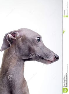 Gray Italian Greyhound - Download From Over 56 Million High Quality Stock Photos, Images, Vectors. Sign up for FREE today. Image: 14350009