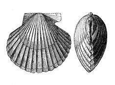 sea shells clip art | Vintage Clip Art Images – Seashells